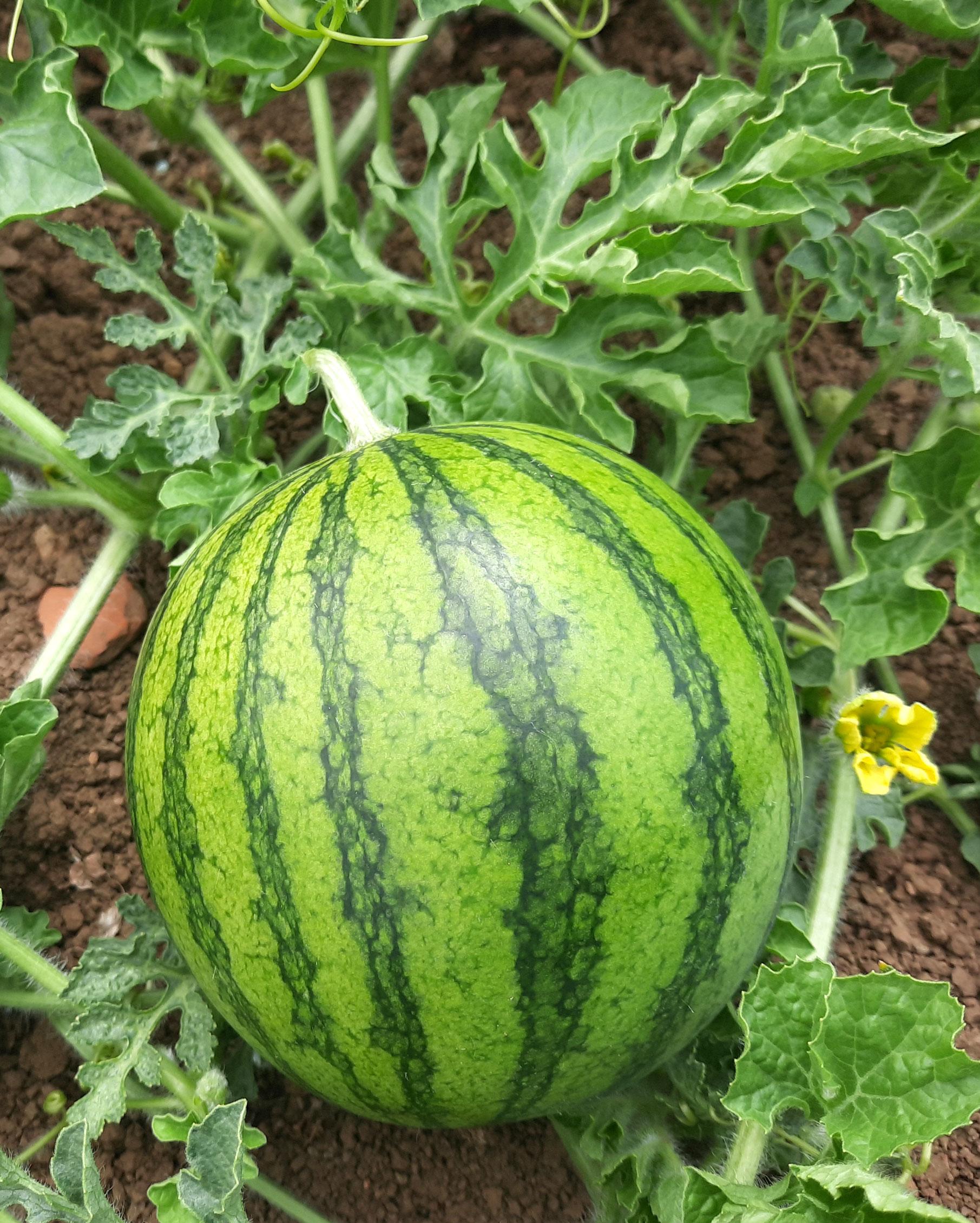 Die Minimelone hat die Größe einer Bowlingkugel. Foto: ul